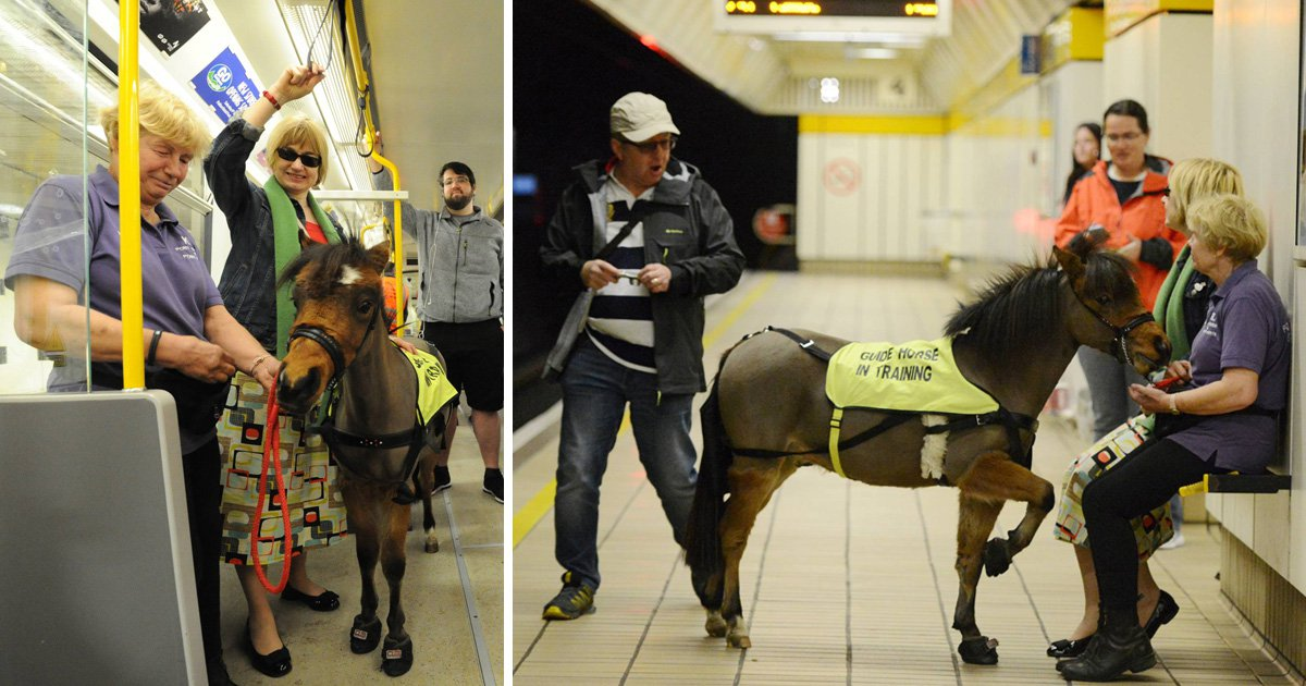 UK's first guide horse rides the train as he prepares for life in London