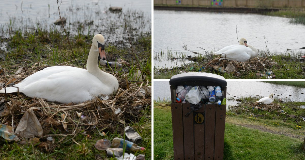 The swan laid its eggs on a nest made of rubbish