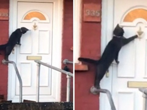 'Britain's politest cat' filmed knocking on owner's door
