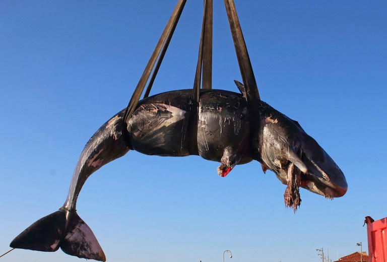 In this photo taken on Friday, March 29, 2019 and provided by SEAME Sardinia Onlus, a whale is lifted up onto a truck after being recovered off Sardinia island, Italy. The World Wildlife Foundation is sounding the alarm over plastics in the Mediterranean Sea after an 8-meter-long sperm whale was found dead off Sardinia with 22 kilograms (48.5 pounds) of plastic found in its belly. The environmental organization said Monday that the garbage recovered in the sperm whale???s stomach included a corrugated tube for electrical works, plastic plates, shopping bags, tangled fishing lines and a washing detergent package with the brand and bar code still legible. The female whale beached off the northern coast of Sardinia last week. (SEAME Sardinia Onlus via AP)