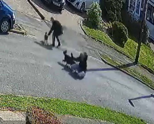 "AMAZING footage shows a ""crazy"" cat attack a Staffordshire Bull Terrier and its owner in the street. The fiesty feline's assault is so sudden and determined it leaves the Staffy owner lying flat on his back in the middle of the street. The moggy ambush, which happened in Stourbridge, West Midlands, on March 24, was filmed by Simon Hart. Simon posted his clip online with the caption: ? Crazy cat attacks Staffy and owner.?"
