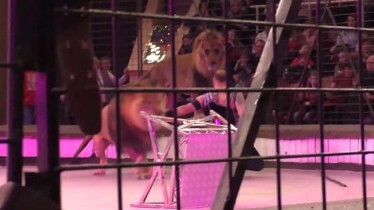 Moment of lion attack in Lugansk circus