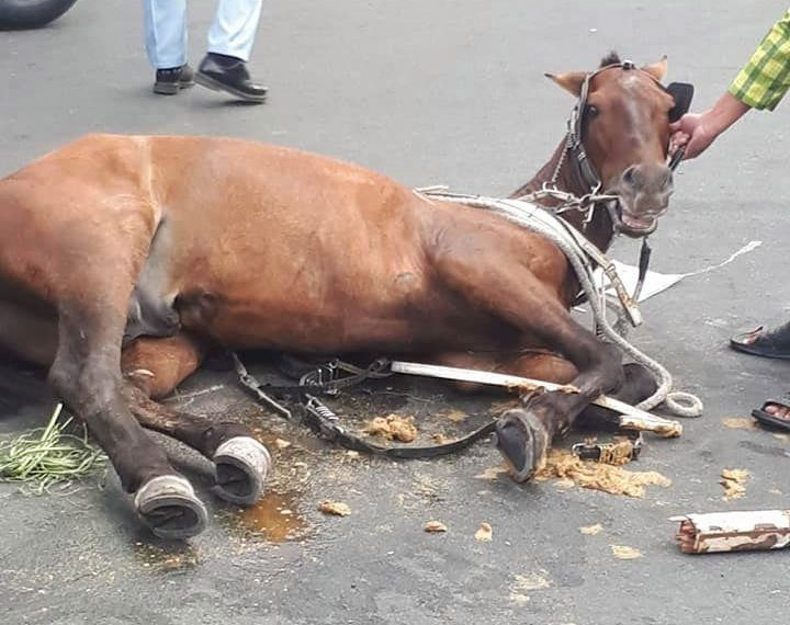 The horse collapsed from exhaustion while pulling tourists across the city (Picture: ViralPress)