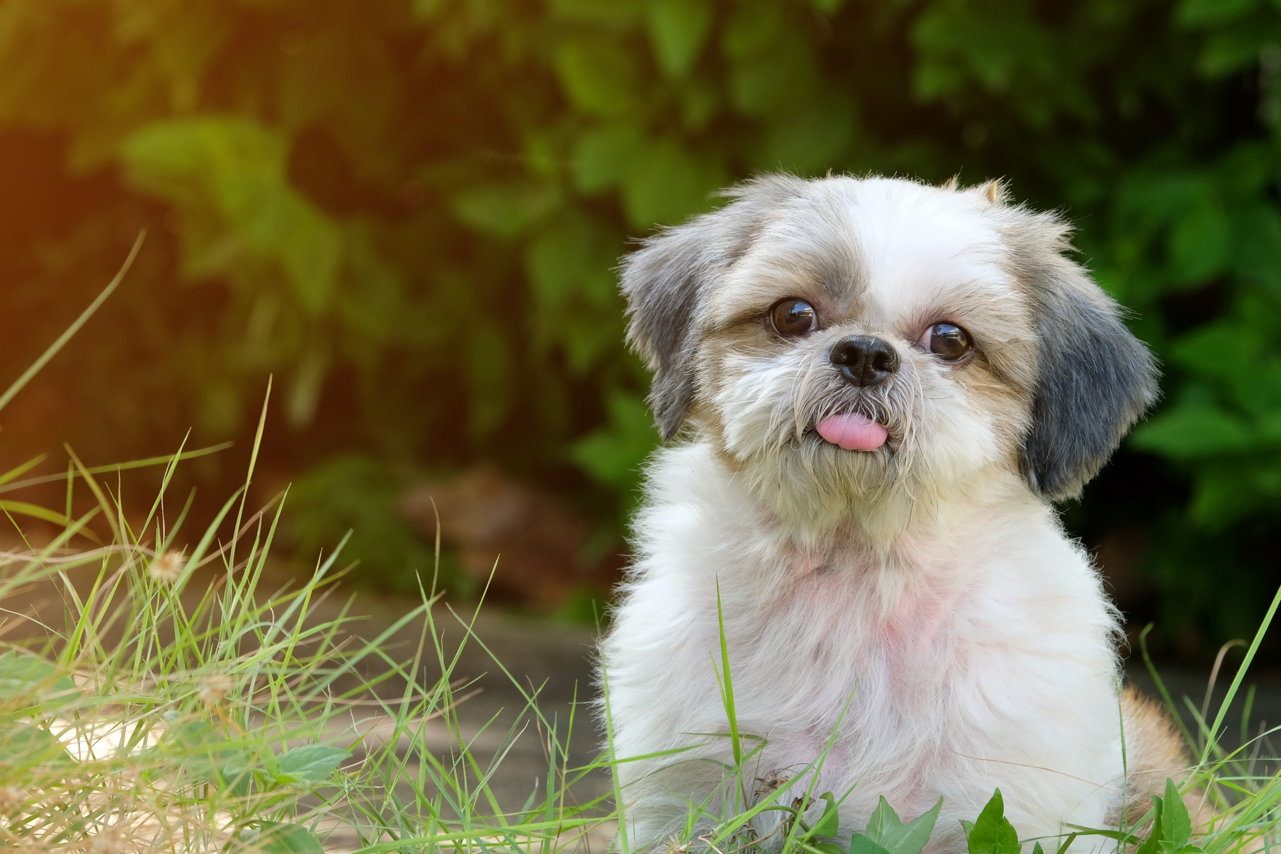Front innocent face of young Shih Tzu dog, long tongue and doubtful, on green lawn with soft light; Shutterstock ID 785437429; Purchase Order: -