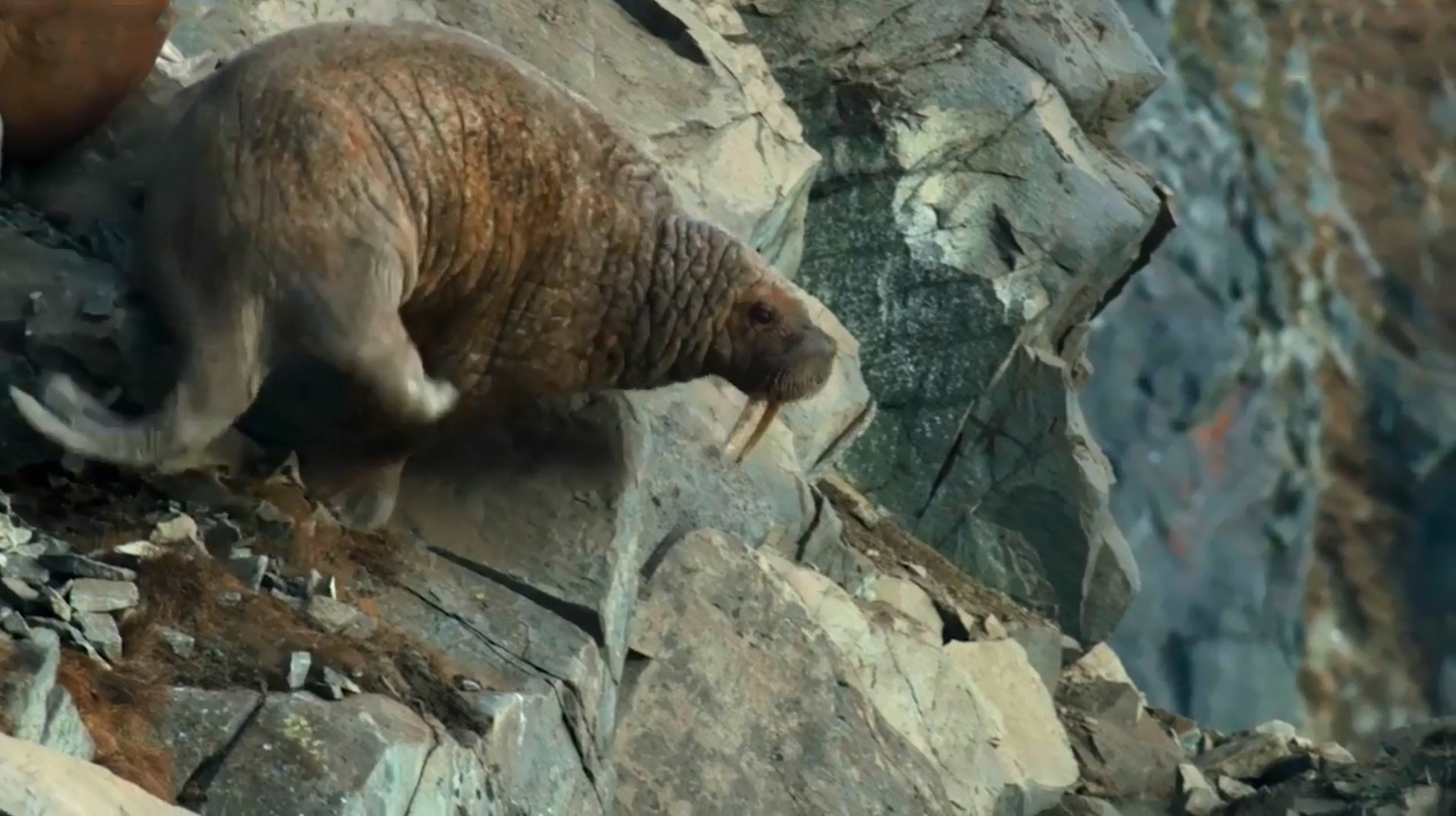 """Walruses fall off a cliff to their deaths below due to climate change in this episode of the Netflix show """"Our Planet"""" titled """"Frozen Worlds."""""""