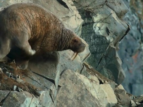 Climate change is causing walruses to plunge to their deaths