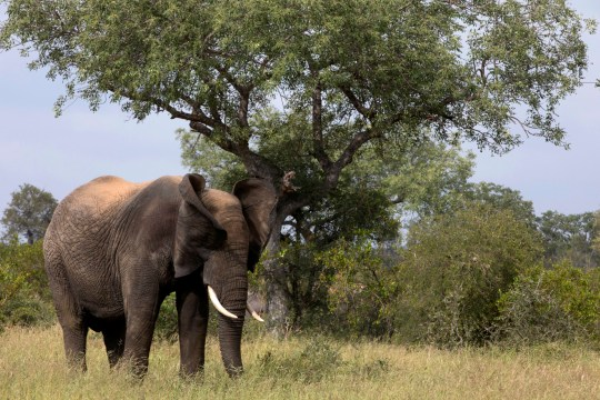 Park authorities in South Africa said they recovered the remains of a suspected rhino poacher they believe was killed by an elephant before his remains were devoured by a pride of lions earlier this week. Kruger National Park. African Elephant (Loxodonta africana). South Africa. (Photo by: Godong/UIG via Getty Images)
