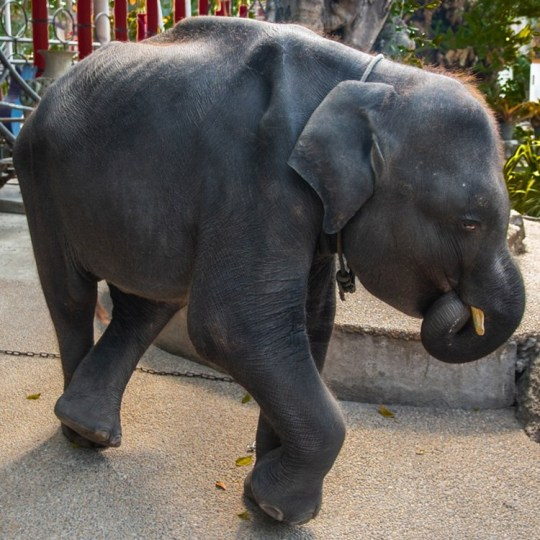 """???Skeletal??? baby elephant forced to bang head to rave music as Thailand zoo visitors laugh """"Real-life Dumbo"""" Provider: Moving Animals Source: https://www.movinganimals.org/savedumbo"""