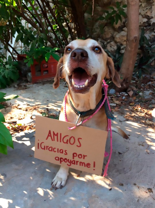 Pic Shows: The dog with a poster saying thank you; MEXICO: Kind-hearted residents have helped a cancer-suffering dog successfully raise enough money to pay for its chemotherapy sessions through the sale of cakes.