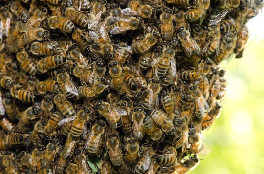 A swarm of European honey bees clinging to a tree; Shutterstock ID 102042685; Purchase Order: -