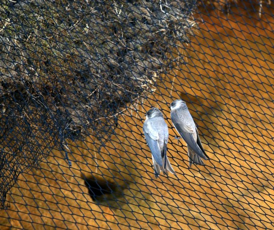 """Sand martins prevented from nesting on Bacton cliff side, in Norfolk, by nets erected by North Norfolk District Council to attempt to combat cliff erosion.See SWNS story SWCAnetting.Bird lovers hit out at a council putting up netting on a cliff side preventing sand martins from nesting.The RSPB say that the netting is risking the lives of the birds as they may get stuck in it.The RSPB shared a video on Twitter and said the effect of the material, which resembles a football net, was """"heart breaking"""" and said that the council """"have not taken out (and their contractor's) original advice.""""The netting was put up on the Bacton cliff side, Norfolk, to deter wildlife from nesting during a project to stop erosion."""