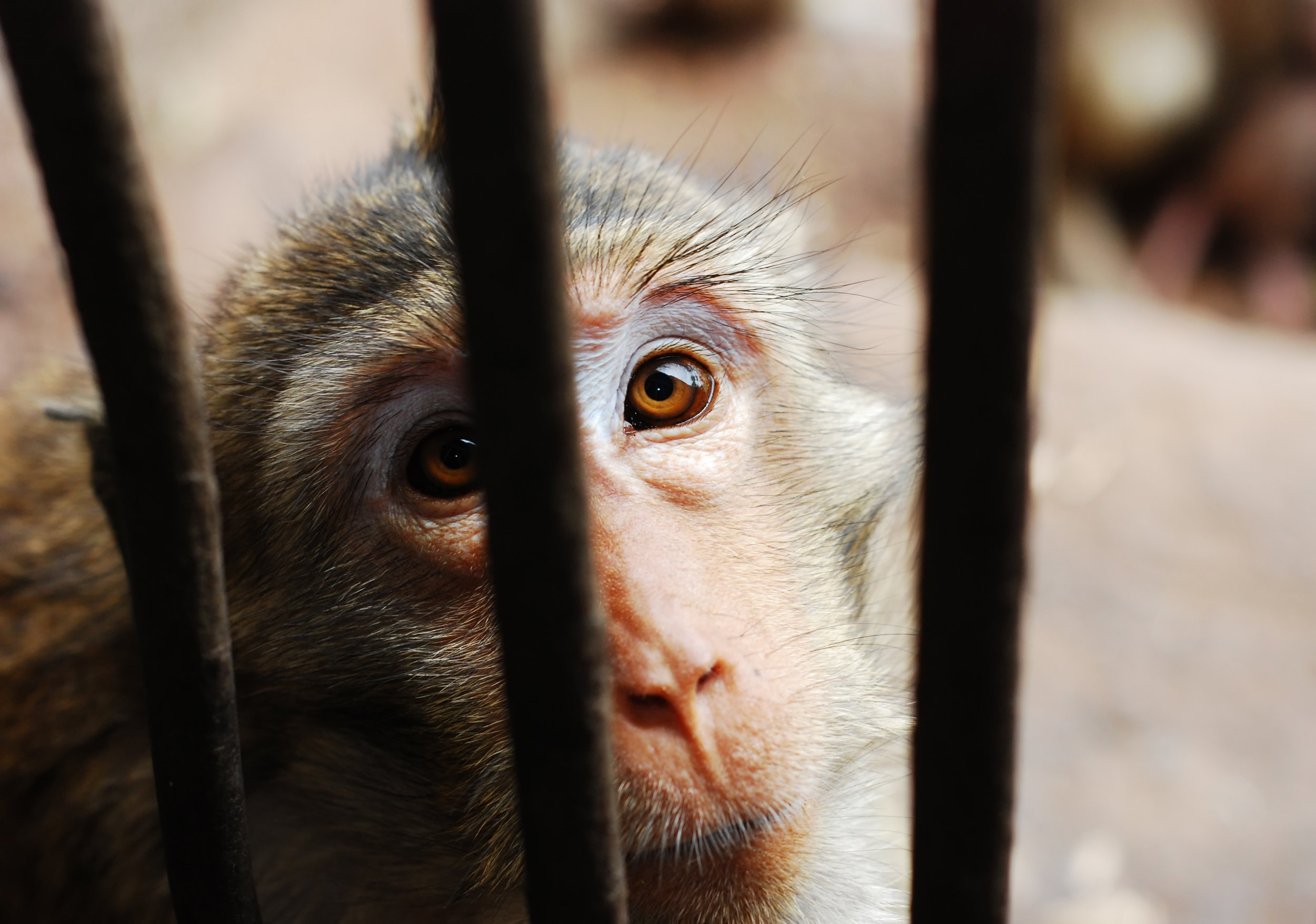 Chinese scientists create super-intelligent monkeys by injecting human DNA into their brains