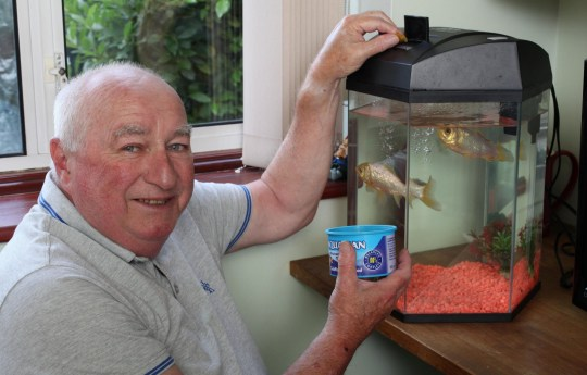 FILE PHOTO - Keith Allies (71) from Worcester who owns Fred and George the 40-year-old goldfish. See SWNS story SWMDfish.Britain's oldest goldfish which was won as a prize at a funfair in 1974 has died at the age of 44.George was won with another fish called Fred by Keith Allies, 75, as a romantic gesture for his then 18-year-old girlfriend Mary.The couple married five years later and kept the goldfish as pets - which both went on to outlive two family dogs.Despite having a ten-year life span, George amazingly survived for over four decades at the family's home in Worcester.