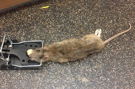WESSEX NEWS AGENCY Jim Hardy email news@britishnews.co.uk mobile 07501 221880 A family have been driven out of their home by a plague of U-bend swimming monster rats. Pic of one of the rats in a trap