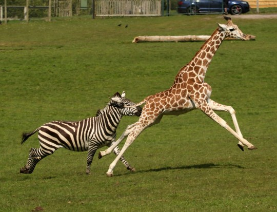 Giraffe and zebra race...