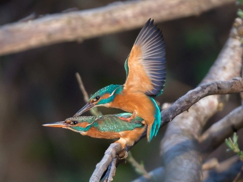Photographer waited four years to get this picture of kingfishers having sex