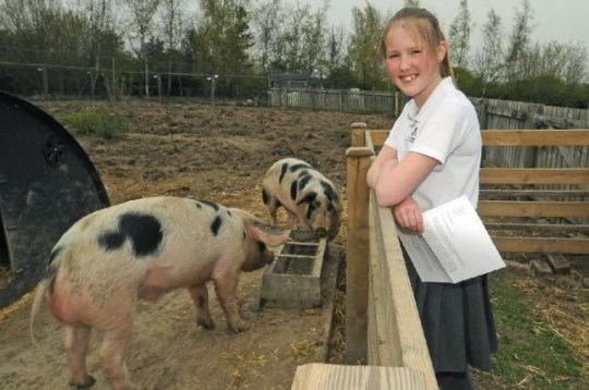 School plans to slaughter its pet pigs to teach children