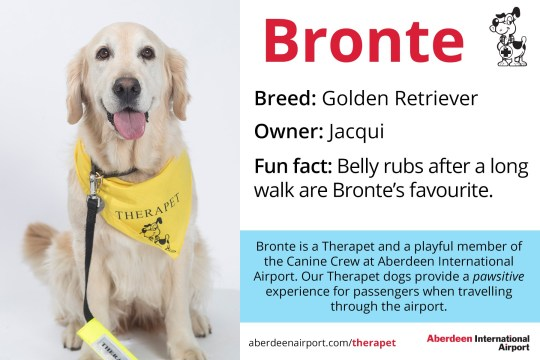 Bronte - Golden Retriever Therapet dogs programme - the Canine Crew Who are the Canine Crew? Our team of four legged volunteers delight passengers with a friendly wag or furry cuddle. All of our therapy dogs are registered Therapets, part of Canine Concern Scotland Trust. Known to reduce anxiety, therapy dogs can bring smiles and brighten your day. The Canine Crew and their accompanying handlers roam the terminal every week to help you feel welcomed and relaxed. The dogs in bandanas and handlers in blue vests are an excellent addition to the customer service team. Passengers love seeing warm, wet noses and wagging tails that help create a friendly, PAWSitive experience at ABZ! Meet our Canine Crew and see when they are on shift. See one of our Canine Crew in the terminal? Make sure you share your pictures on social media using the hashtag #caninecrewabz, and we'll share the best ones! Meet the Aberdeen Airport Canine Crew Our Therapet Dogs are here to make your airport experience more enjoyable