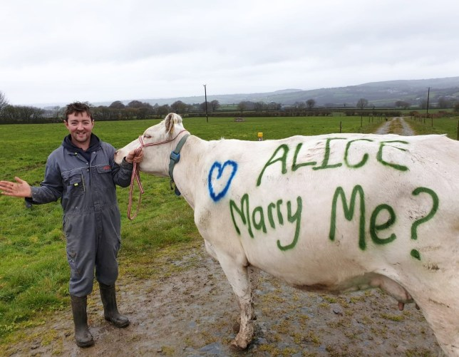 COPY BY TOM BEDFORD Pictured: Sion Thomas with the message he painted to one of his cows to propose to his fiancee Re: A farmer has proposed to his fianc?eby painting the big question on the side of one of his cows. Sion Thomas proposed to Alice Green by painting ?Alice: marry me?? in green paint on the side of a white dairy shorthorn cow. The couple, both 24, live at Drysgol Goch farm, Llanfyrnach, and met during their final year while they were both studying in Harper Adams University. Sion and Alice plan to marry in September 2020, and have been surprised by the number of messages on social media they have received since Sion shared his proposal.