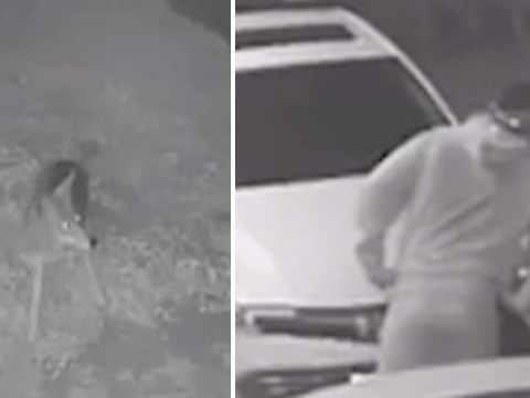 Wild coyote stops thief trying to steal from man's car