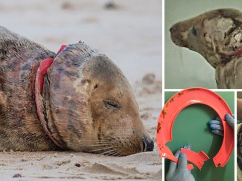Seal found with plastic frisbee cutting into her neck released back into sea