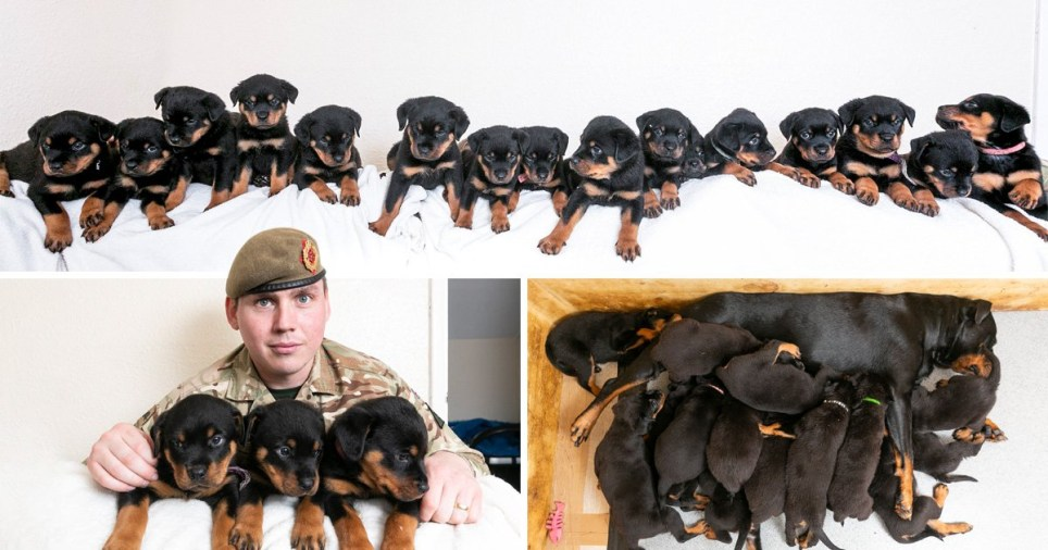 Rottweiler gives birth to 16 puppies when she was only meant