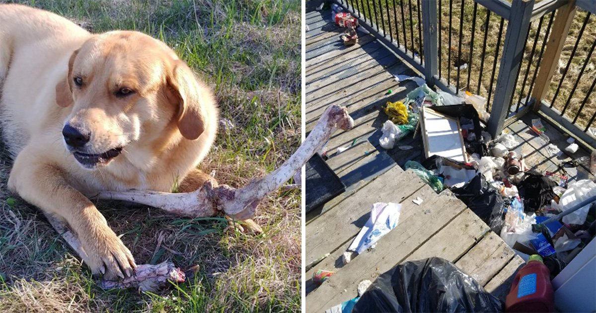 Bear bribes 'guard dog' with deer bones so it can steal from the trash