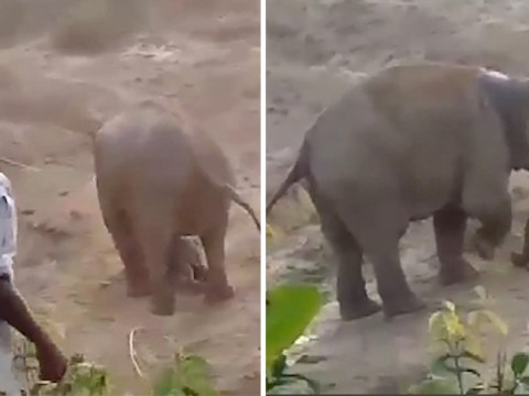 Elephant tramples man to death after being 'pelted with stones for helping calf'