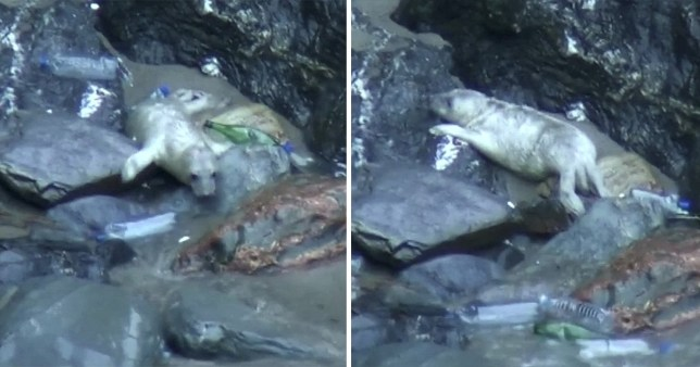 The footage, released by The Cornish Seal Sanctuary, shows the pup being hit by waves of plastic waste