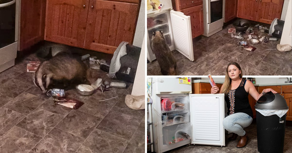 Badger caught on camera raiding ice lollies and mash potato from freezer