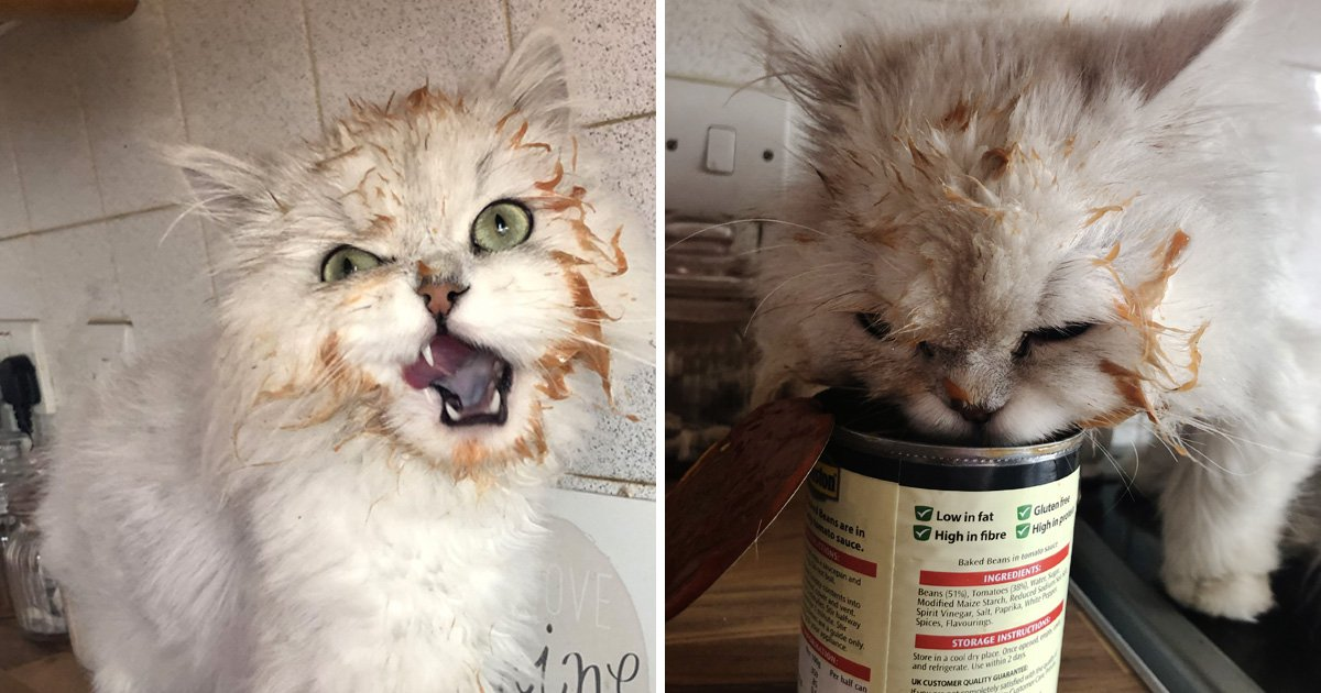 Meet Greedy Cat, the Persian who can't stop stealing baked beans and cereal