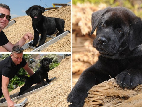 Puppy has his work cut out as latest recruit in owner's thatching business