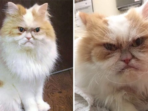 Meet Louis, the new grumpy cat who looks permanently angry