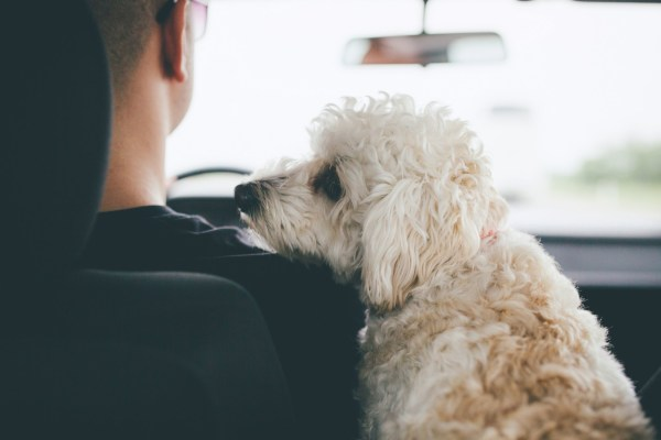 Man and his little white dog traveling by car