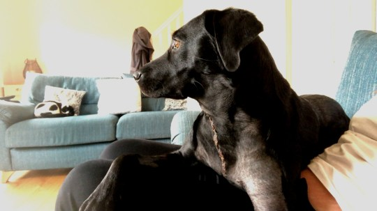 Corona is now on the mend but her owner's said they'd never throw a stick for her again