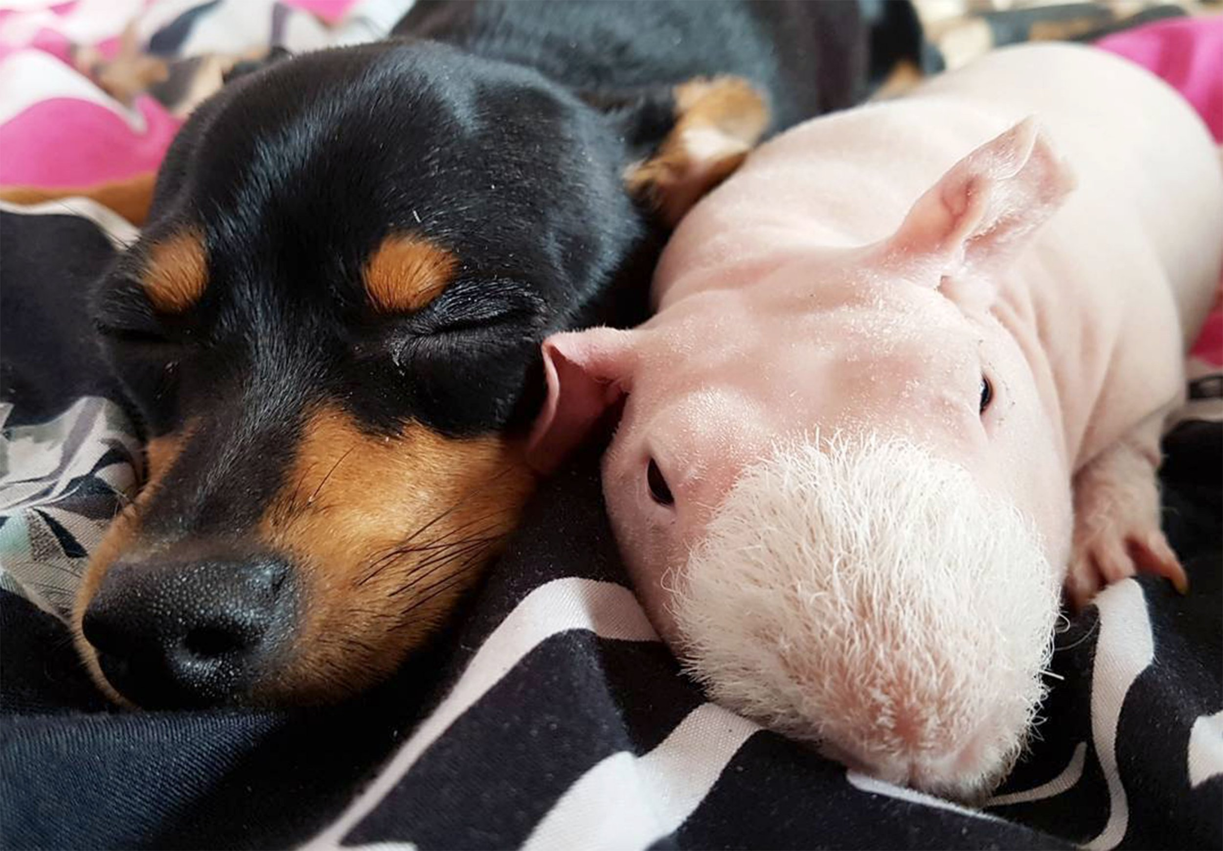 Pim the bald guinea pig is best friends with a dog