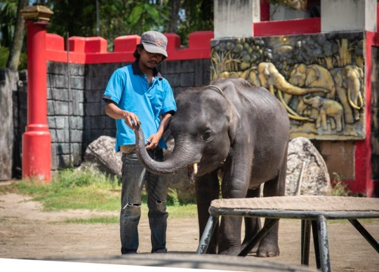 "viral baby elephant ""dumbo"" dies after being forced to perform in thailand"