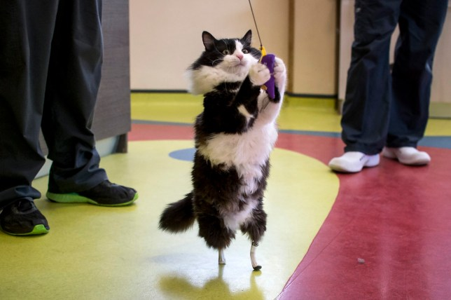 Pooh, a one-year-old cat, who lost his hind legs in an accident and has been given bionic paws, plays with a toy in a vet clinic in Sofia on January 31, 2017. Pooh, who is thought to have lost his legs in a car or train accident last April, is back on the prowl thanks to Bulgarian veterinary surgeon Vladislav Zlatinov. He is the first vet in Europe to successfully apply the pioneering method of Irish neuro-orthopaedic surgeon Noel Fitzpatrick, who shot to fame in 2009 when making Oscar the first bionic cat by fitting him with new hind legs in Britain. / AFP / NIKOLAY DOYCHINOV (Photo credit should read NIKOLAY DOYCHINOV/AFP/Getty Images)