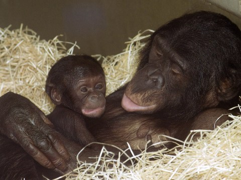 Mother Bonobo chimps get very involved in their son's sex life