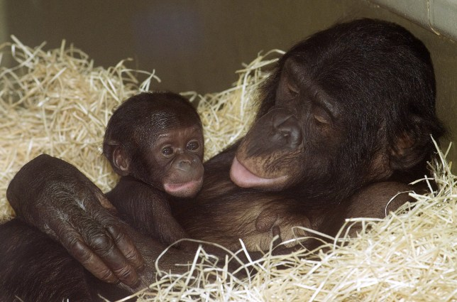 (GERMANY OUT) Germany Berlin - Berlin zoo: newborn Bonobo (Pan paniscus) Likembam with his mother Opala (Photo by G??nter Peters/ullstein bild via Getty Images)