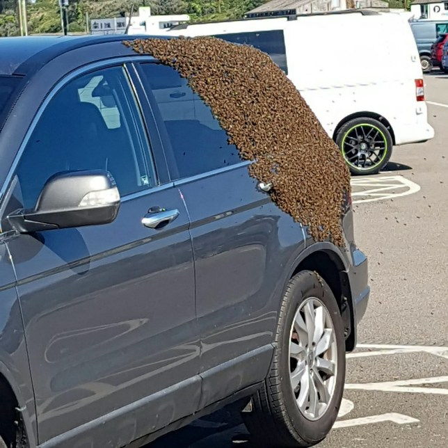 A Honda SUV is covered in a swarm of bees in a car park in Cornwall. The swarm was safely removed by a lucky bee keeper who picked up the tiny honey makers. See SWNS story SWPLbees. Shoppers in Hayle were left stunned this morning after a swarm of bees landed on a car left in a supermarket car park. The drama unfolded at Asda in Hayle and pictures show the packed swarm consisting of hundreds of bees settled on the back of the Honda motor vehicle. It has been said that the bees first landed on a Ford before moving onto the Honda SUV. Fortunately a local bee keeper was shopping in the supermarket at the time and he then returned in protective gear before getting bees into a box and transporting them to a hive somewhere. Images from the scene have caused quite a stir on the Anything Hayle community Facebook page , with one of the people who snapped the bees, Kerrie Williams, describing being ?flabbergasted? and not believing what she saw.