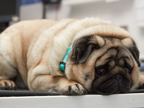Podgy pug who loves leftovers will compete to lose weight and get healthy again