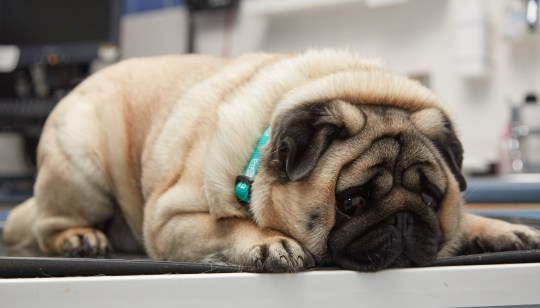 PDSA of Percy the Pug with his owner Chloe, who will be taking on PDSA's Pet Fit Club competition to battle the bulge. PRESS ASSOCIATION Photo. Issue date: Thursday May 23, 2019. The latest batch of recruits have been signed up to the PDSA Pet Fit Club, with the winner receiving a year???s supply of healthy food and an animal-friendly holiday. See PA story ANIMALS Fat. Photo credit should read: Guy Hinks/PDSA/PA Wire NOTE TO EDITORS: This handout photo may only be used in for editorial reporting purposes for the contemporaneous illustration of events, things or the people in the image or facts mentioned in the caption. Reuse of the picture may require further permission from the copyright holder.