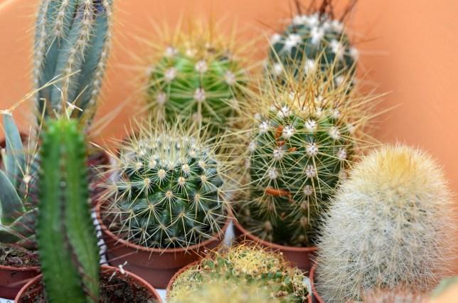 Tray of cacti