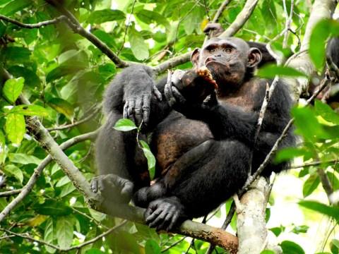 Chimpanzees caught smashing open tortoise shells then eating their meat