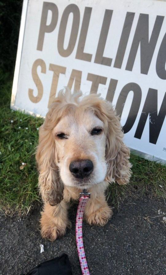 METROGRAB Dogs at polling stations Provider: Twitter/babyfish72 Source: https://twitter.com/babyfish72/status/1131441113364140032