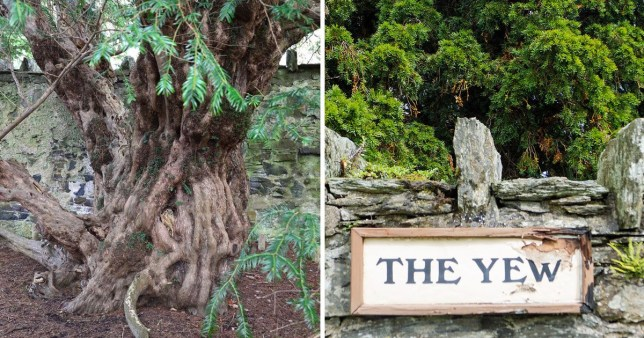 The Fortingall Yew, Britain's oldest tree