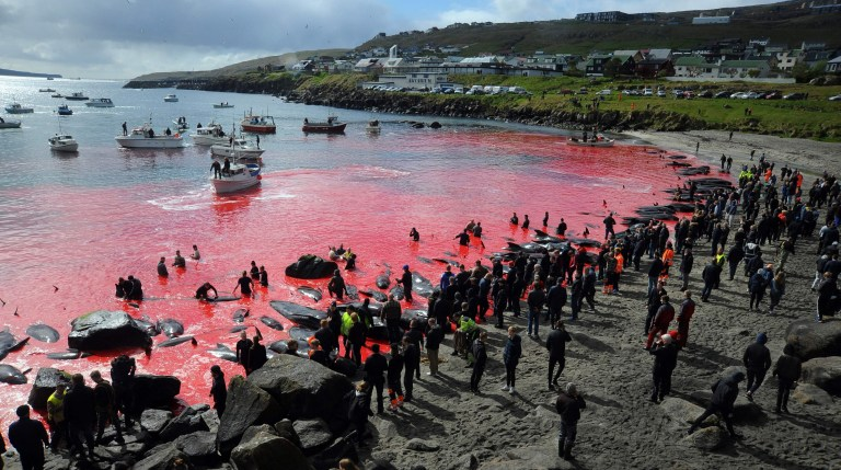 People gather in front of the sea, coloured red, during a pilot whale hunt in Torshavn, Faroe Islands, on May 29, 2019. - As local fishermen spot pods of pilot whales passing the shores of the Danish territory of Faroe Islands during their migration, a convoy of boats drive the whales towards authorized fjords to harvest the catch. Pilot whaling is subject to Faroese legislation, which sets the framework for the catching, killing methods and permitted equipment. (Photo by Andrija ILIC / AFP)ANDRIJA ILIC/AFP/Getty Images