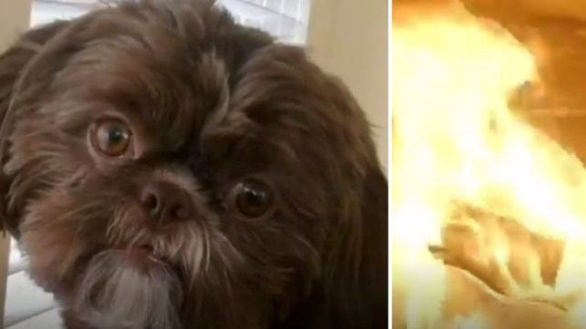 A healthy Shih Tzu called Emma - who looked very similar to this dog - was put down because her owner demanded that they be laid to rest together