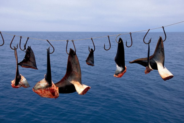 Shark fins hanging above sea
